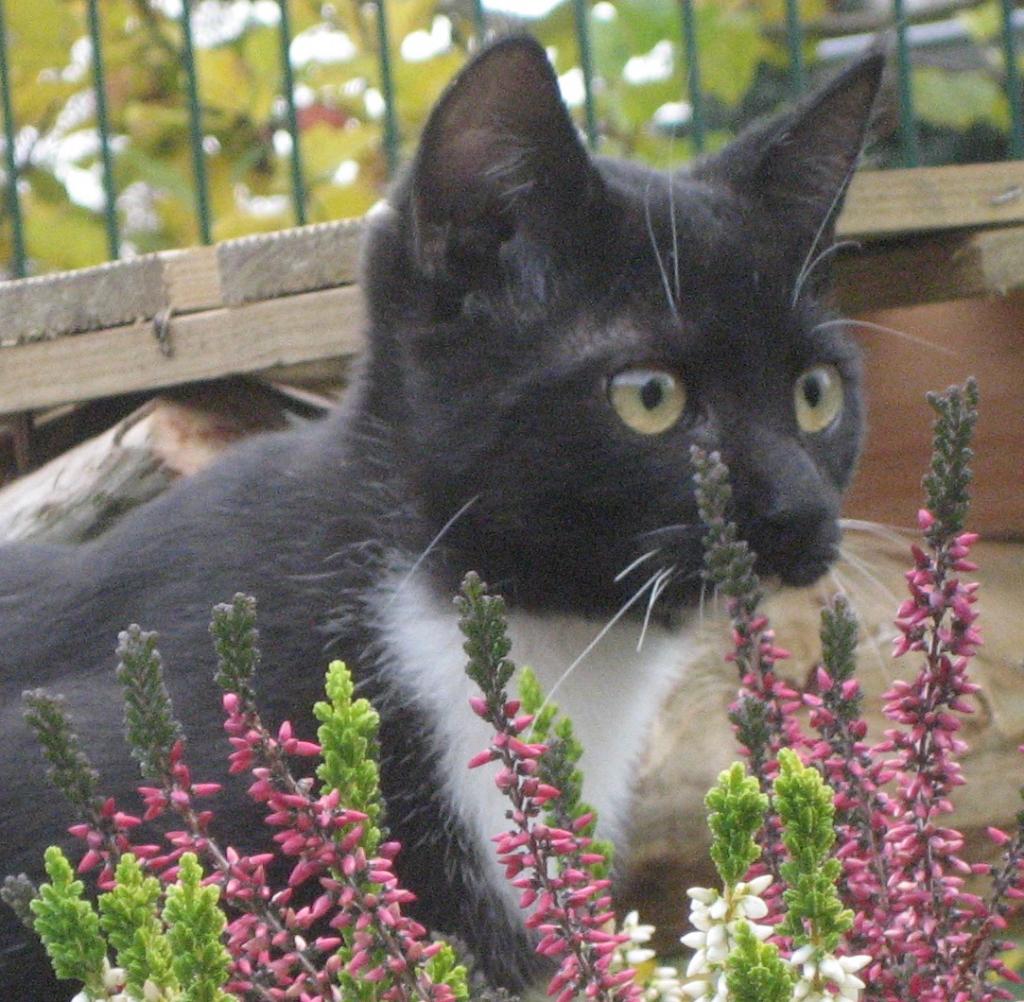 eine schwarz-weiße Katze sitzt hinter einem Heidestrauch