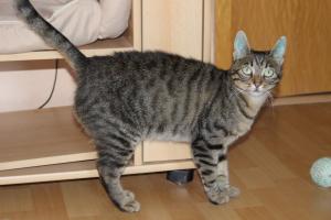 eine getiegerte Katze steht vor einem Schrank