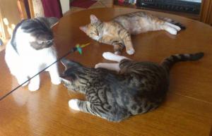 zwei Katzen liegend, eine Katze sitzend auf einer Tischplatte, betrachten interessiert eine Spielangel
