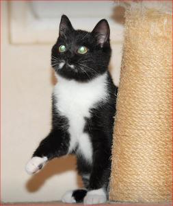 kleine schwarz-weiße Katze sitzt auf einem Kratzbaum, schaut nach oben