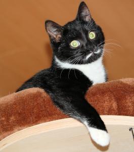 schwarz-weiße Katze auf einer Liegefläche des Kratzbaumes, ein .vorderbein über den Rand gelegt