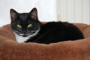 schwarz-weiße Katze liegt auf einem braunen Kissen, in die Kamera schauend