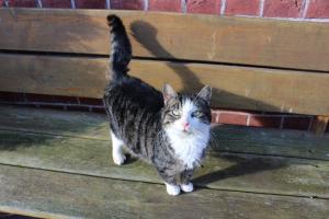 grau getiegerte Katze mir weißen Pfoten und Latz steht auf einer Holzbank