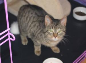 eine braun-grau getiegerte Katze in einem Käfig, schaut in die Kamera