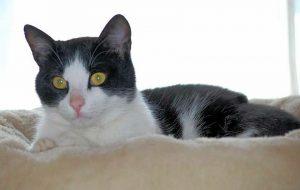 schwarz-weißer Kater in einem Katzennest leigend, schaut in die Kamera