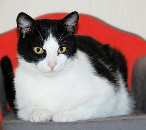 schwarz-weißer Kater auf einem Katzensofa