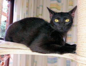 schwarze Katze auf einem Kratzbaum, schaut in die Kamera