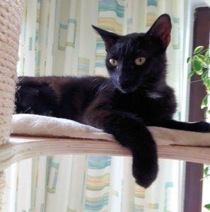 schwarze Katze auf der Liegefläche eines Kratzbaumes, eine Vorderpfote hängt über den Rand