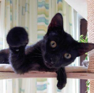 schwarze Katze auf eibnem Kratzbaum, dicht vor der Kamera, in die Kamera schauend, die rechte Vorderpfote zur Kamera gestreckt