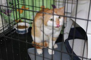 rot-weißer Kater mit amputiertem Vorderbein in einem Käfig