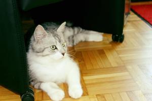 grau-weißer Kater, liegt vor einem Sessel