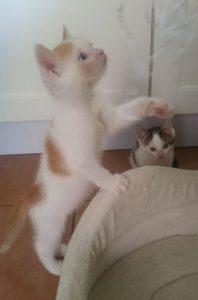 weiß-rotes Kitten, auf den Hinterbeinen stehend, linke Vorderpfote nach etwas ausgestreckt