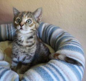 getiegerte kleine Katze auf einem Kissen, schaut in die Kamera