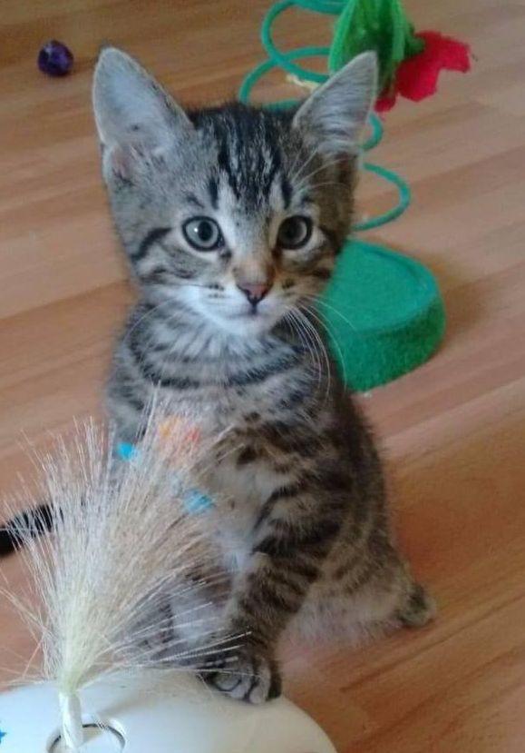 getiegerte kleine Katze vor einem Spielzeug