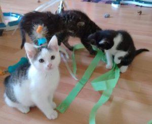 drei Kitten spielen mit bunten Bändern