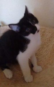 schwarz-weißes Kitten, sitzend schaut in die Kamera