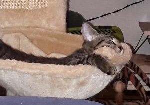 getiegerte Katze schläft in der Mulde eines Kratzbaumes