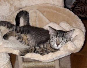 kleine getiegerte Katze schläft in der Mulde eines Kratzbaumes