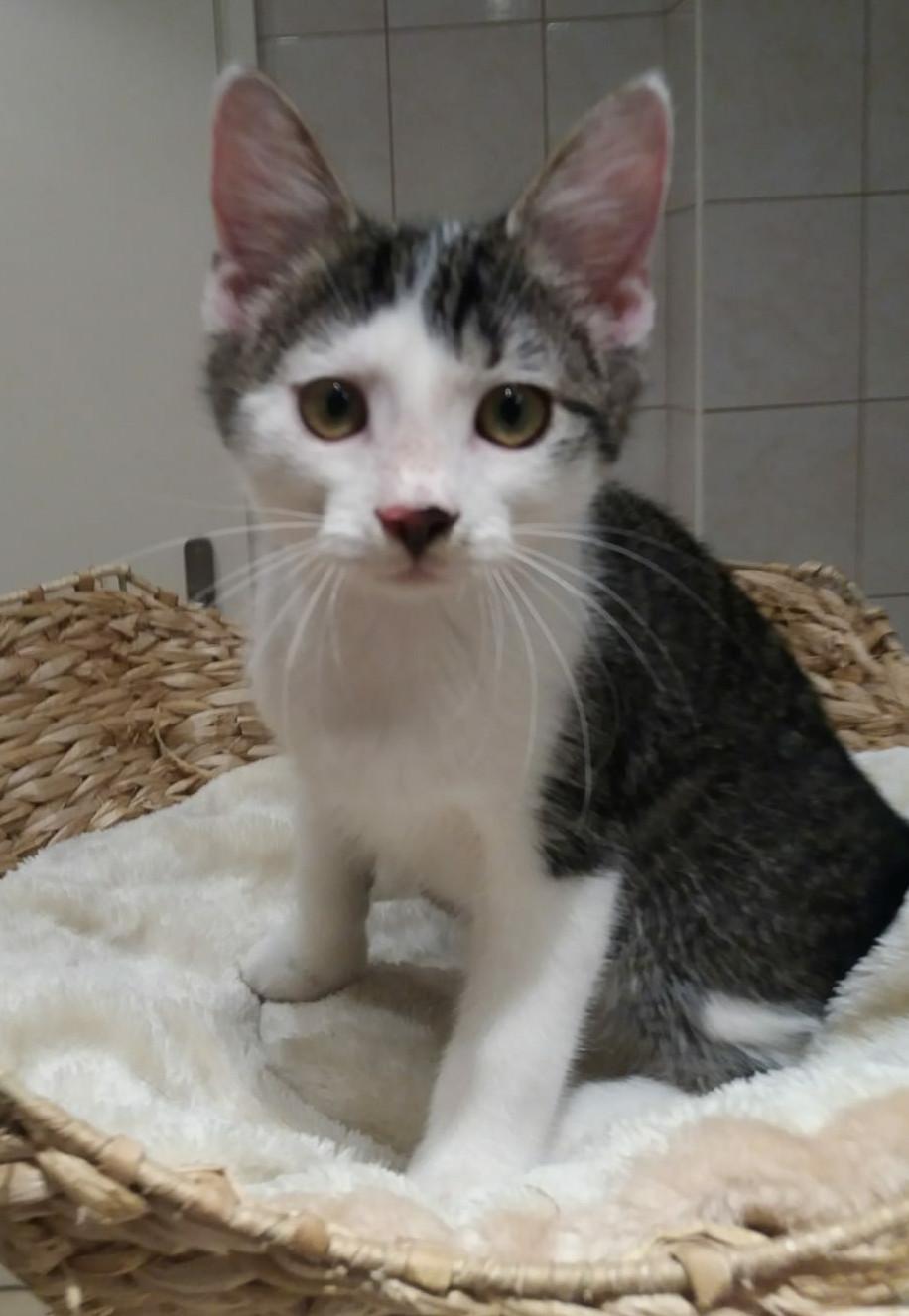 weiß-grau-getiegertes Kitten sitzt in einem Korb, schaut in die Kamera
