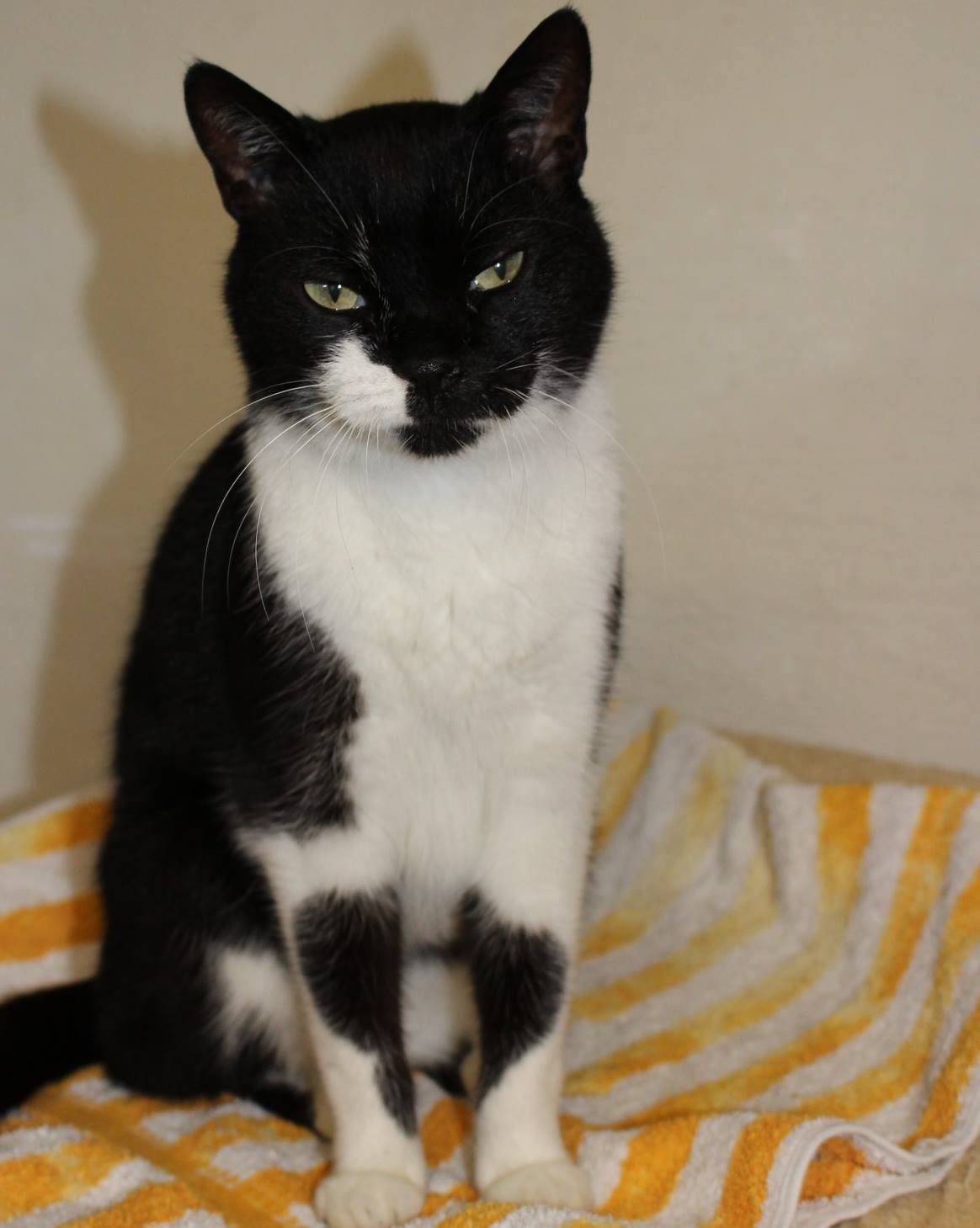 schwarz-weißer Kater sitzt auf einem Handtuch