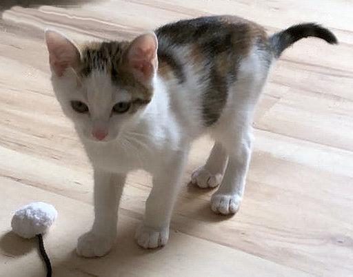 kleine dreifarbige Katze steht auf dem Fußboden, mit einem Spielzeug
