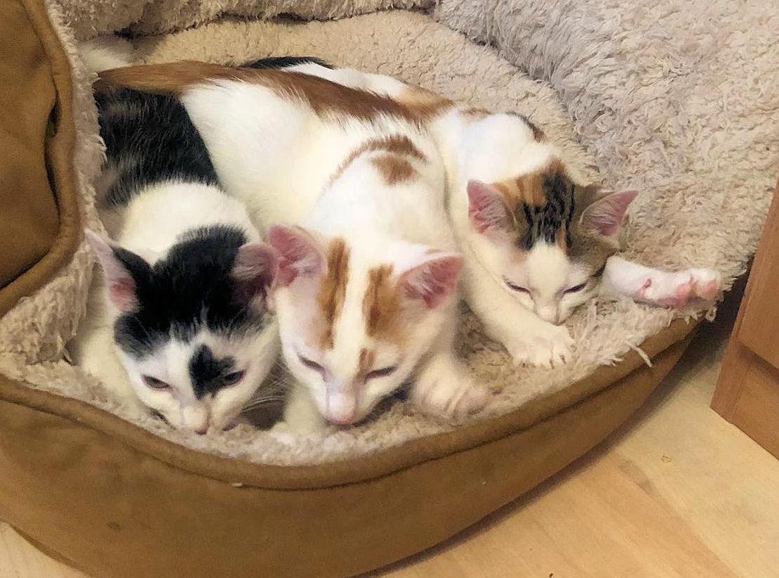 drei Kitten in einem Nest, in einer Reihe nebeneinander liegend