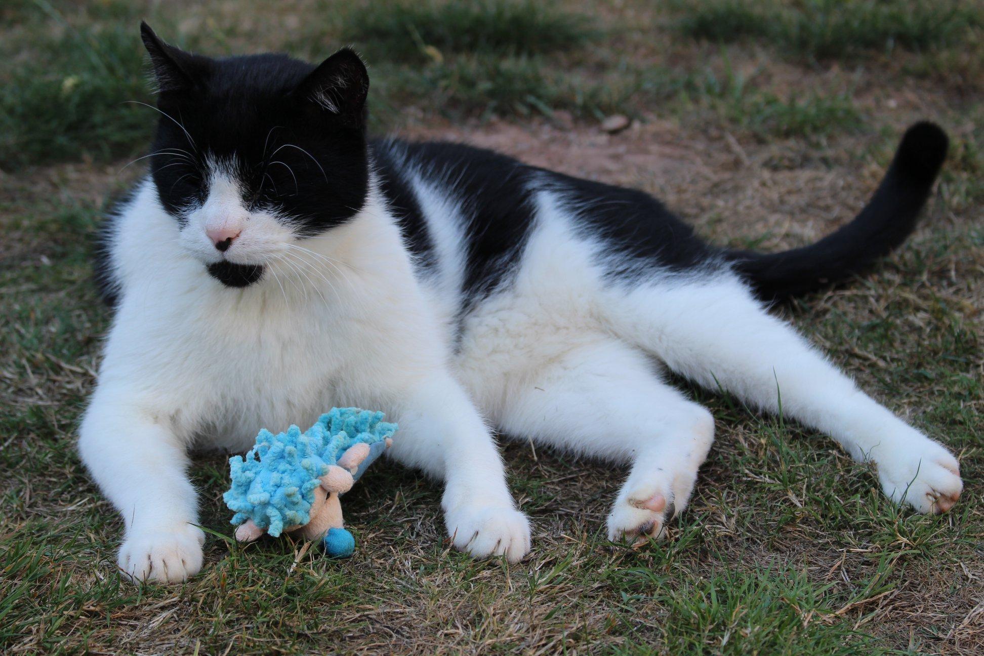 schwarz-weißer Kater liegt mit einem Spielzeug im Gras