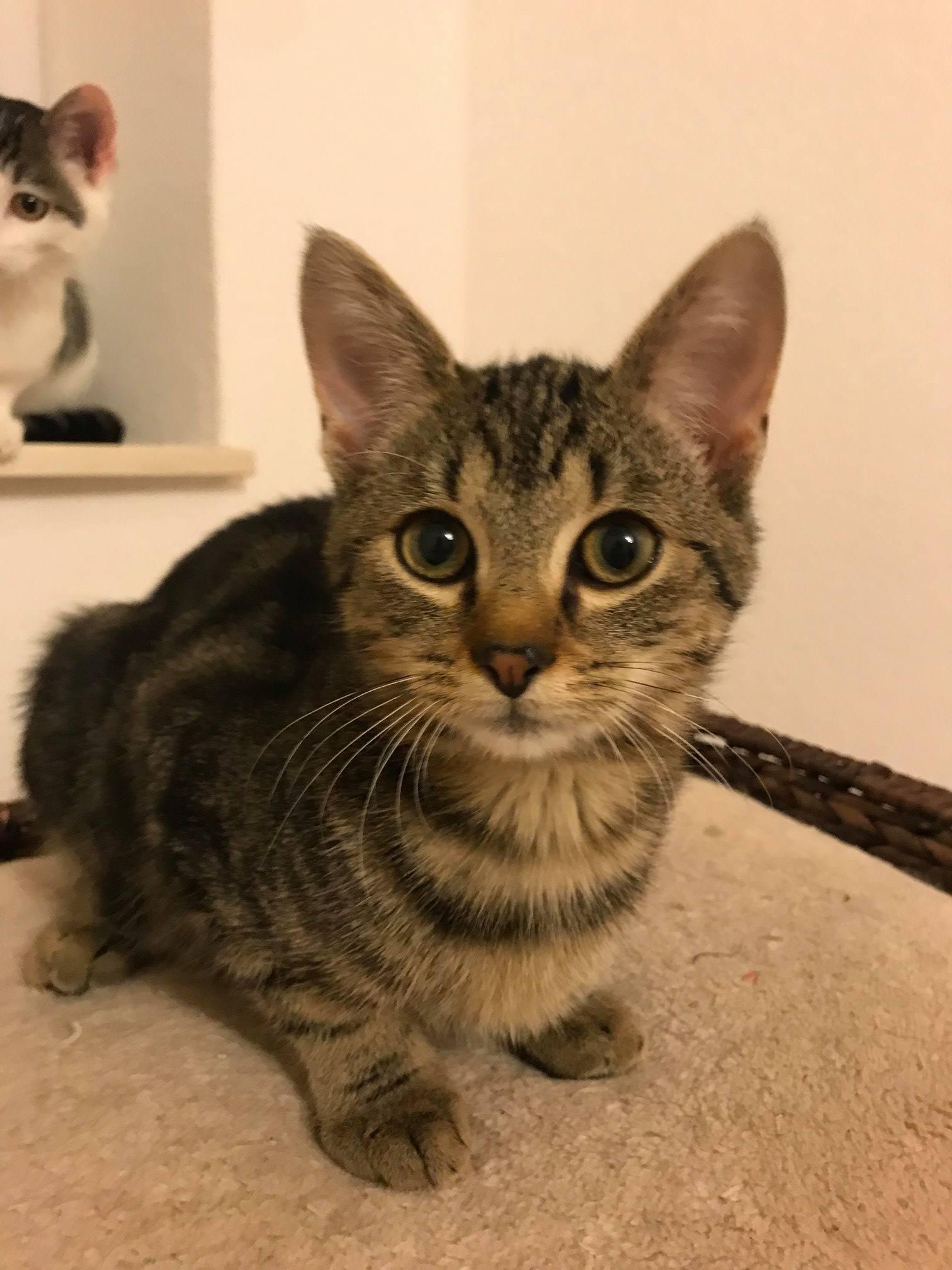 kleine getiegerte Katze, schaut in die Kamera