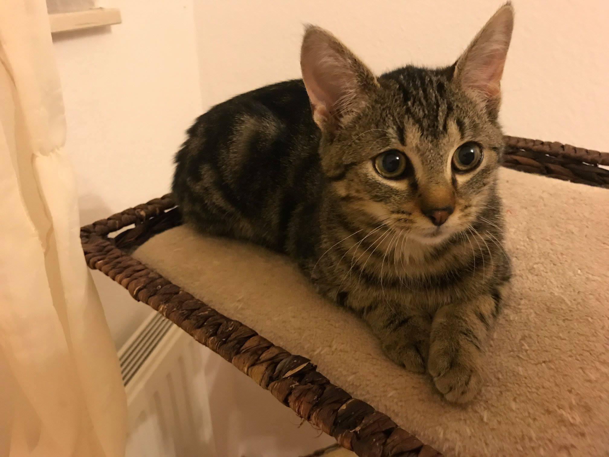 kleine getiegert Katze liegt auf der Sitzfläche eines Kratzbaumes