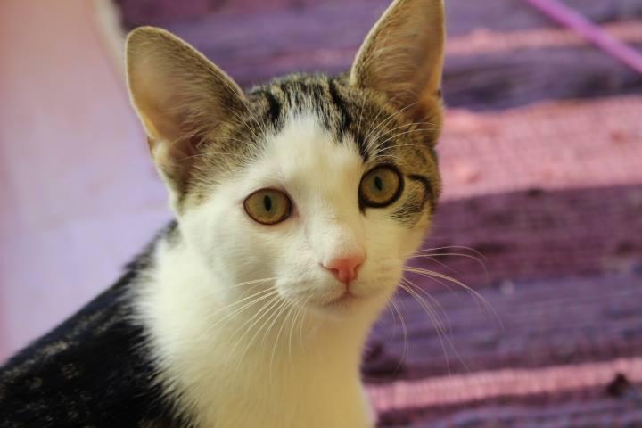 Kopfbild einer weiß-grau-braun-getiegerten Katze, schaut in die Kamera