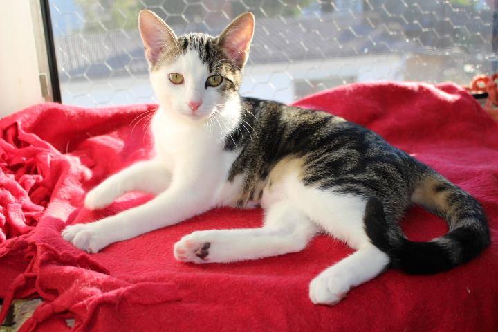 weiß-graubraun-getiegerte Katze liegt auf einer roten Decke, schaut in die Kamera
