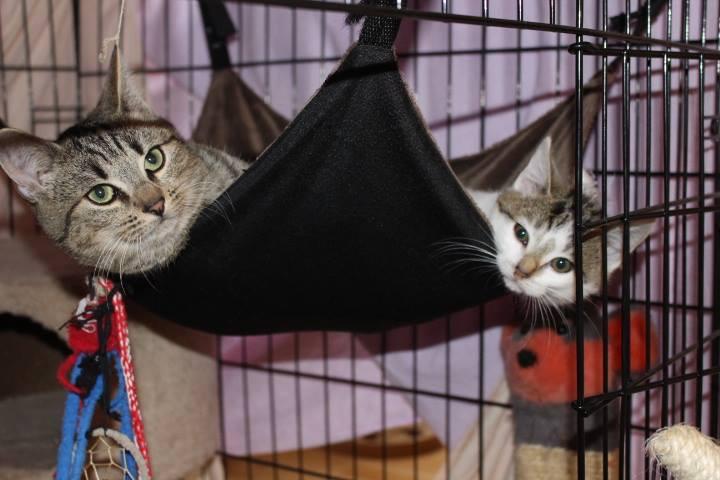 zwei Kitten in einer Hängematte, schauen in die Kamera