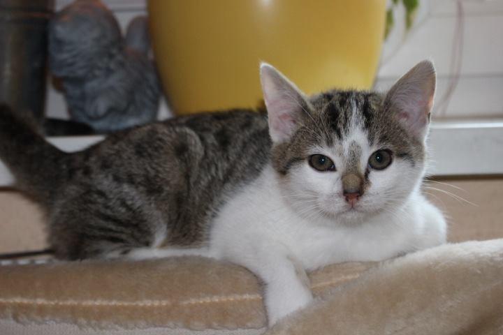 weiß-graues Kitten auf einem Kissen liegend