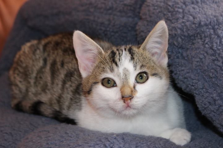 weiß-graues Kitten auf einem Fellteppich liegend