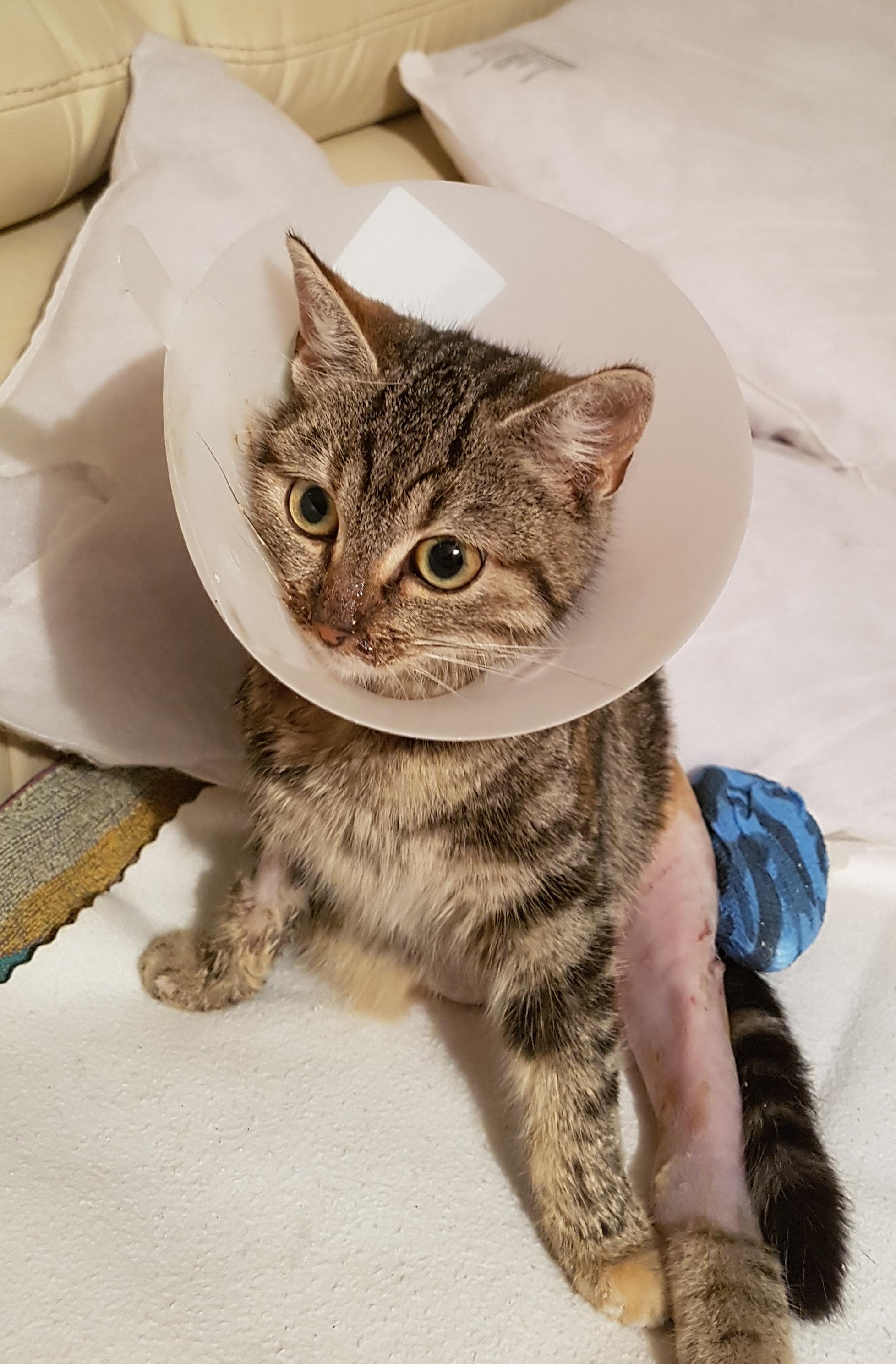 getiegerte Katze mit Trichter um den Hals und rasiertem Hinterbein