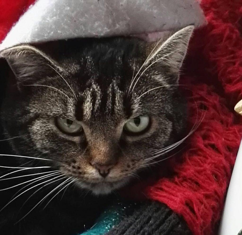 Kopfansicht einer Tabby-Katze