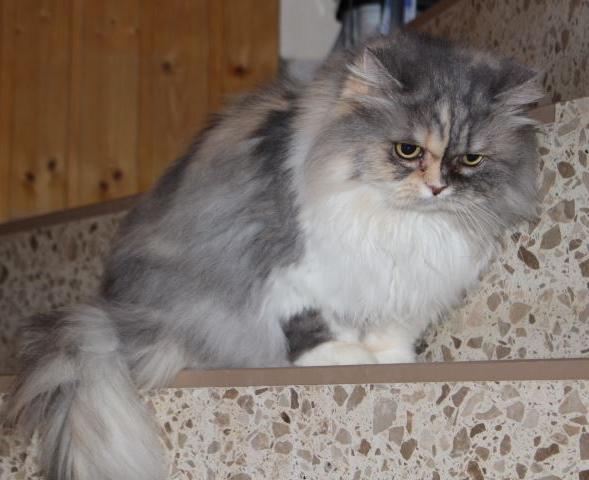 grau-weiße Perser-Mix Katze, liegend