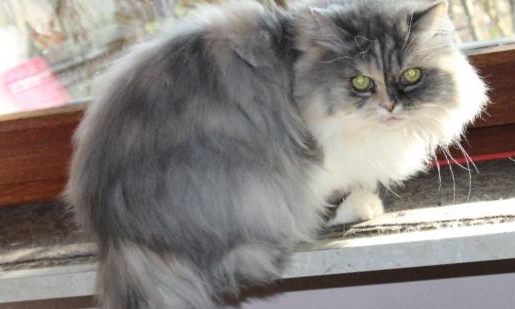 grau-weiße Perser-Mix Katze sitzt auf einer Fensterbank