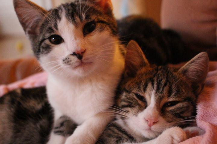zwei Katzen, dicht beeinander liegend, schauen in die Kamera