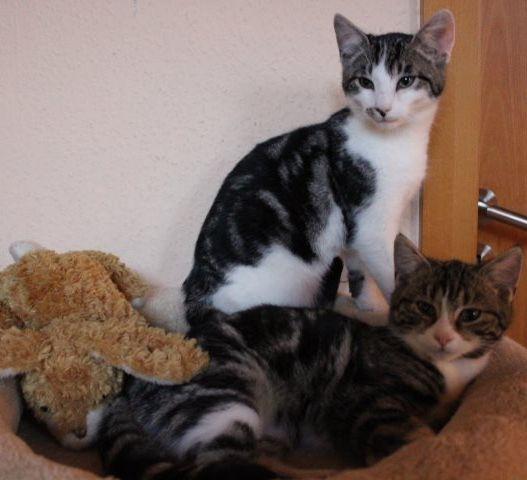 zwei weiß-grau-getiegerte Katzen auf einem Kissen
