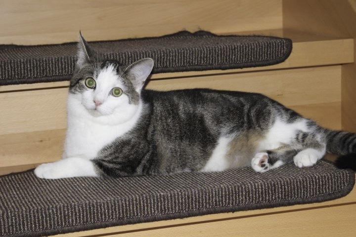 weiß-grauer Kater liegt auf einer Treppenstufe, schaut in die Kamera
