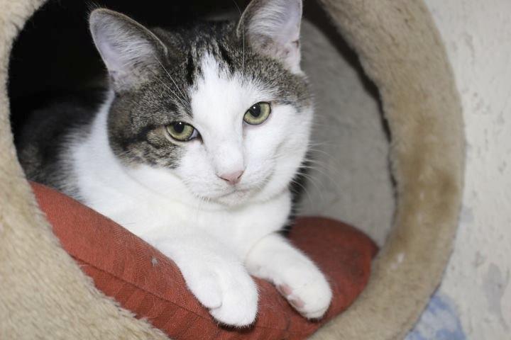 Kopfansicht eines weiß-grauen Katers, liegt in einer Katzenhöhle und schaut heraus