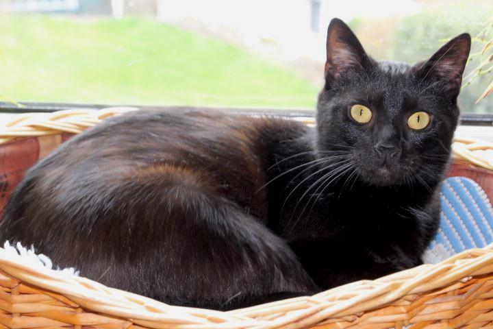 schwarze Katz liegt in einem Korb vor dem Fenster, schaut in die Kamera