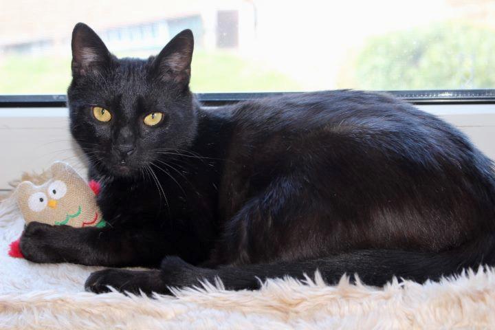 schwarze Katze liegt auf der Fensterbank mit einem Spielzeug vor sich