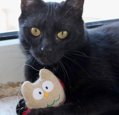 schwarze Katze, liegend mit Spielzeug zwischen den Pfoten, Nahaufnahme