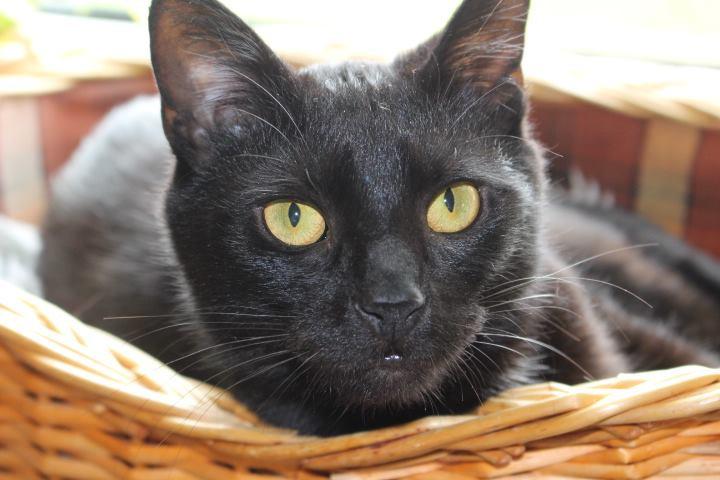 schwarze Katze in einem Korb, Nahaufnahme