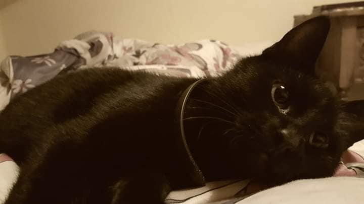 schwarze Katze mit Halsband, liegt auf einer Decke