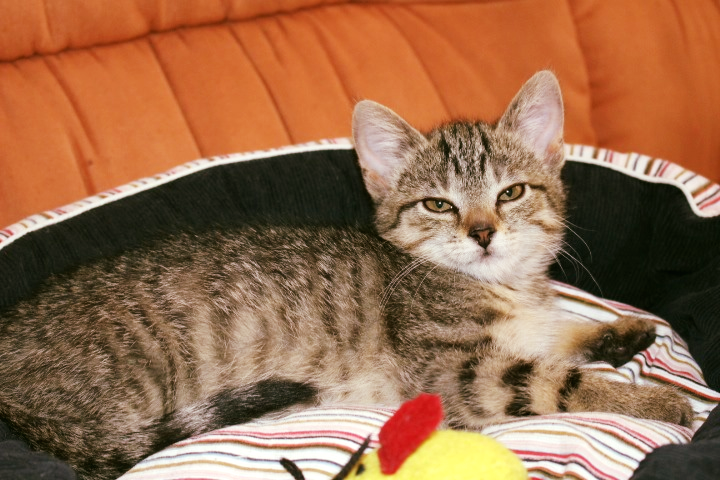 getiegerte Katze liegt auf einem Katzenkissten, schaut in die Kamera