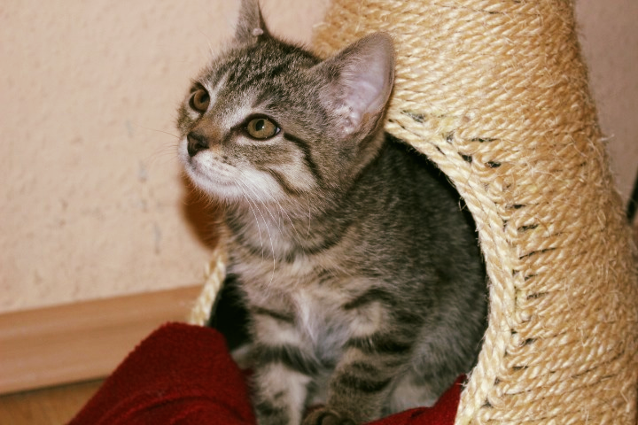 kleine getiegerte Katze schaut aus einer Korbhöhle