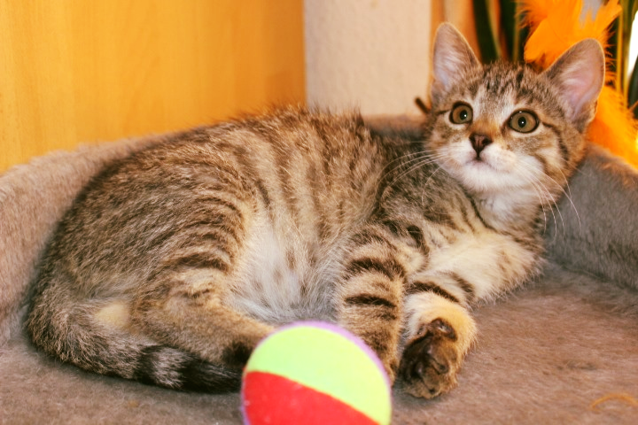 getiegerte Katze liegt auf einem Katzenkissen mit einem Ball